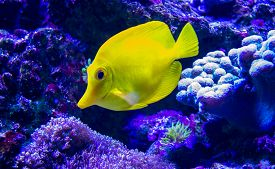 picture of butterfly fish  - Masked Butterfly Fish  - JPG