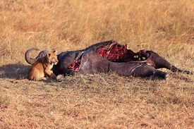 picture of female buffalo  - Lioness with cub eating a buffalo corps at sunset in Masai Mara Kenya - JPG