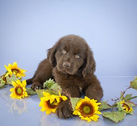 picture of newfoundland puppy  - Sweet Newfoundland puppy laying down with sunflowers around her on a purple background with copy space - JPG