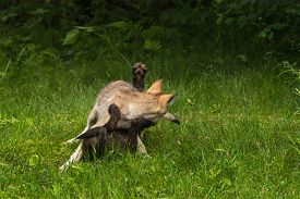 stock photo of lupus  - Two Grey Wolf Pups  - JPG