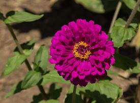 image of zinnias  - Benarys giant purple zinnia flower - JPG