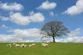 stock photo of spring lambs  - Oak tree in spring with sheep and lambs grazing in a field in the foreground and a blue sky with altocumulus clouds to the rear - JPG