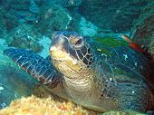 Green Turtle Resting On The Sea Bed