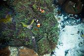 Tropical underwater world - two clown anemone fish