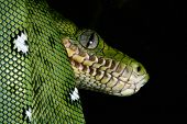 emerald boa in the Bolivian amazon rainforest jungle snake rain forest animal snake amazon green sna