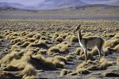 vicuna in the pampas of the Bolivian altiplano ancestor of the llama and the alpaca a south american