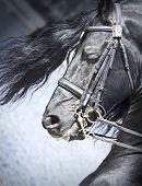 Porträt von friesische Pferde