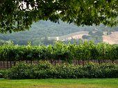 Napa Valley Through A Tree