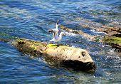 Seagull Spread