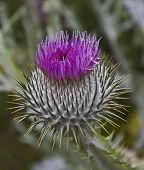 picture of scottish thistle  - Scottish ornamental thistle photographed in Princes Street Gardens Edinburgh Scotland - JPG