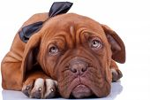 Cloaseup Of A French Mastiff