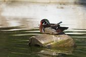 American Wood Duck, male - Aix sponsa, on the ground