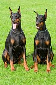 Two Sitting Dobermans