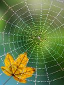 image of spider web  - Spider in a web with dew drops - JPG