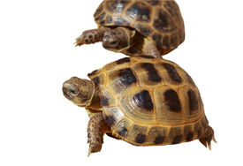 image of russian tortoise  - two Russian tortoises isolated on white background - JPG