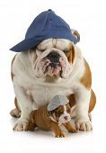 dog father and son - english bulldog father with four week old son  wearing hats sitting on white ba