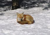 Sunbathing red fox