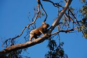 picture of stressless  - hungry climbing koala in tree on a sunny day - JPG