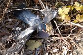 Wood Pigeons Dead