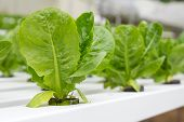 picture of hydroponics  - Organic hydroponic vegetable garden at Cameron Highlands Malaysia - JPG