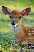 stock photo of bambi  - The Sika deer is one of the few deer species that does not lose its spots upon reaching maturity - JPG