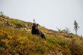 The Grizzly Bear Is A Large Population Of The Brown Bear Inhabiting North America. Scientists Genera poster