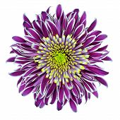 Chrysantemum Flower Purple with Lime Green Center