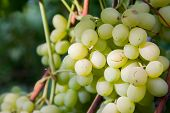 Close Up View Of Ripe Juicy Berries Of Grapes On Branch With Leaves In Vineyard.. poster