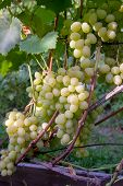 Fresh Ripe Juicy Grapes In Bunches Growing On Branches In Vineyard.. poster