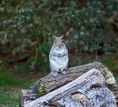 Grey Squirrel Upright