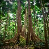 gigantic trees in fan palm rainforest queensland Australia cape tribulation daintree rain forest pri