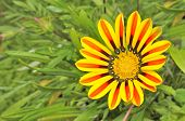 Beautiful Striped Gazania Flower With Green Leaves