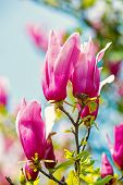 Blossoming Magnolia Flowers With Purple Petals On Sunny Day. Spring Season Concept. Bloom, Blossom,  poster