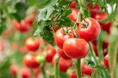 Three Ripe Tomatoes On Green Branch. Home Grown Tomato Vegetables Growing On Vine In Greenhouse. Aut poster