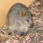 foto of quokka  - closeup of quokka with baby - JPG