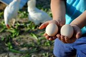 stock photo of hen house  - kid hands with eggs in the hen house - JPG