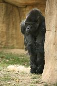 picture of memphis tennessee  - A gorilla at the Memphis Tennessee zoo.