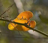 Backlit Fall Colored Leaf