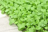 stock photo of profusion  - Young mustard greens growing profusely along sidewalk - JPG