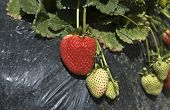 Strawberry on furrows