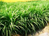 indian fodder crop