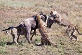 Wildebeest Meets His Match