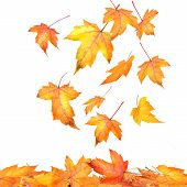 image of fall leaves  - Colored maple leaves falling on white background - JPG