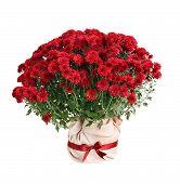Chrysanthemum Paulo red