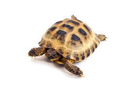 stock photo of russian tortoise  - Asian or Russian tortoise on white background - JPG