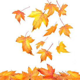 foto of fall leaves  - Colored maple leaves falling on white background - JPG
