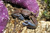 Flattop Crab with Blue Claws