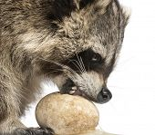 Close-up of a Racoon, Procyon Iotor, eating an egg, isolated on white