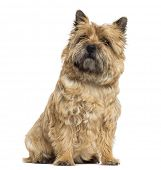 Cairn Terrier sitting, looking up, isolated on white
