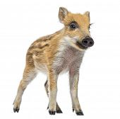 Wild boar, Sus scrofa, also known as wild pig, 2 months old,standing and looking away, isolated on w